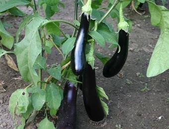 aubergine violetta lunga 3
