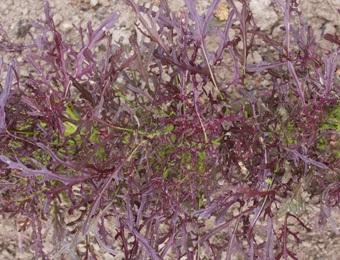 Bladmosterd Purple Frills