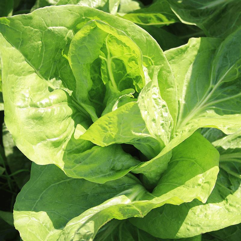 Groenlof Zuckerhut  Cichorium intybus var. foliosum