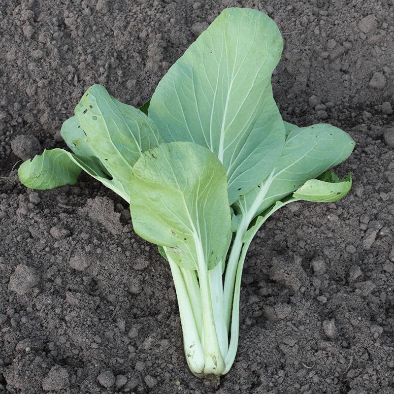 Paksoi Taisai   Brassica rapa var. chinensis