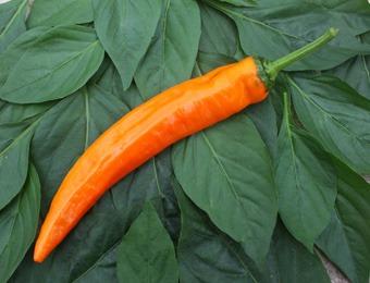 Zoetpunt paprika oranje Kyra