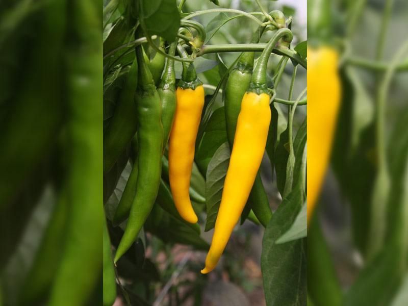 Hete peper Koh Chang  Capsicum annuum