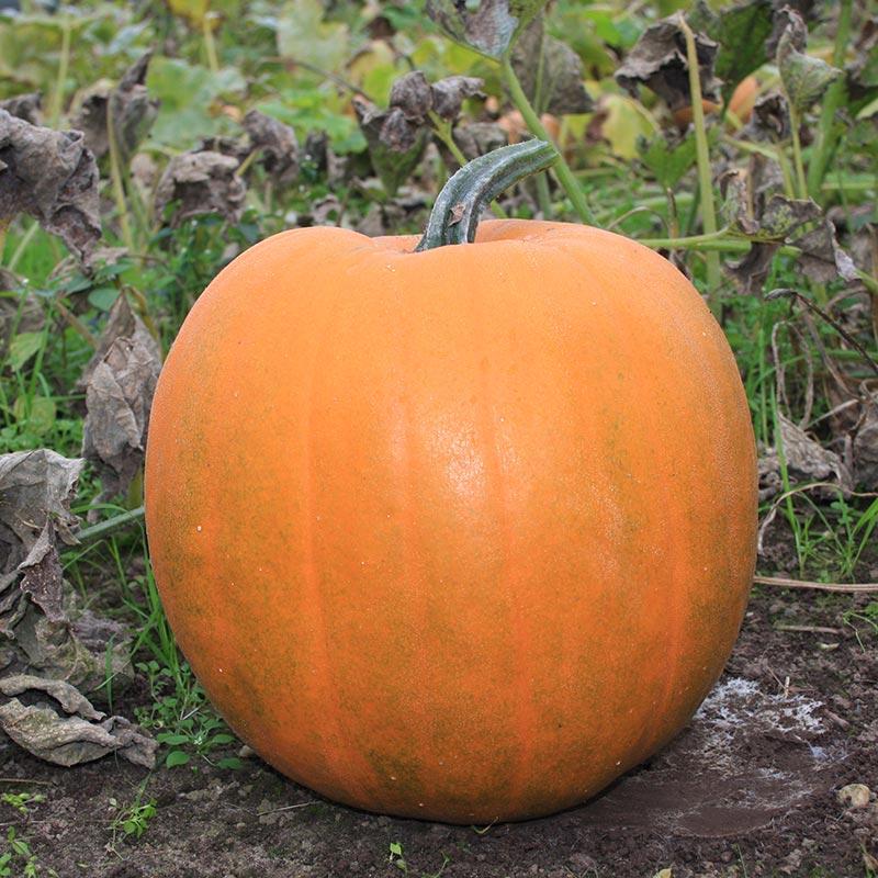 Halloweenpompoen Jack Olantern Cucurbita Pepo De Bolster