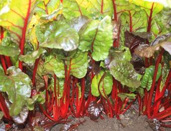 Snijbiet Rhubarb Chard