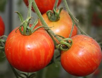 Tomaat Tigerella Bicolore