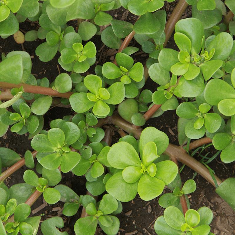 Zomerpostelein groen  Portulaca oleracea