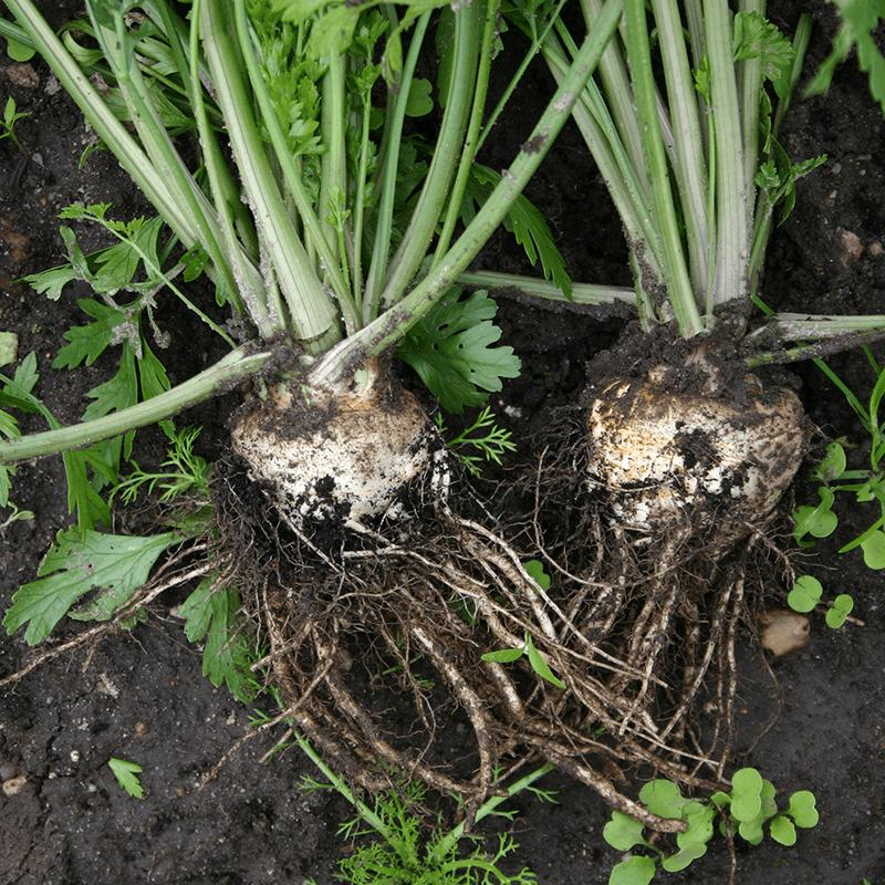 Wortelpeterselie  Petroselinum crispum var. tuberosum