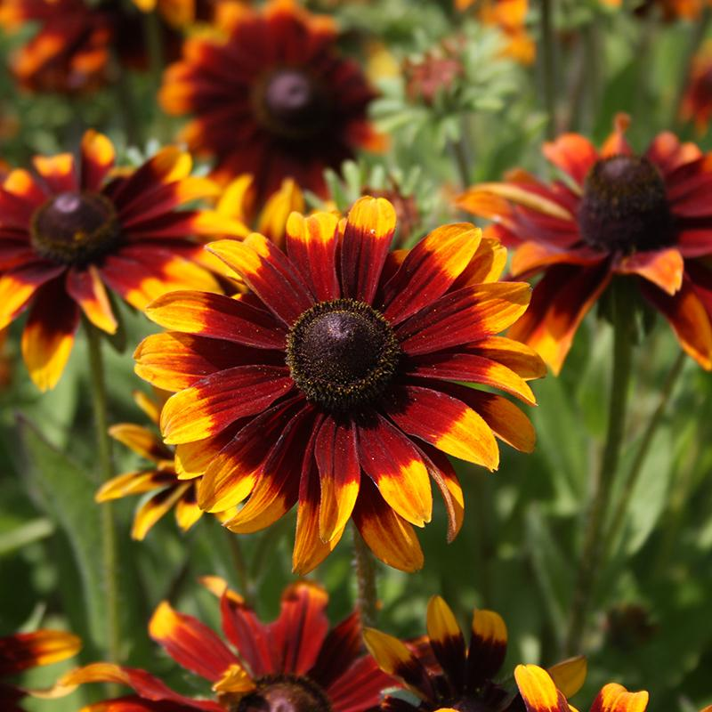 Rudbeckia Chocolate Orange – Rudbeckia hirta