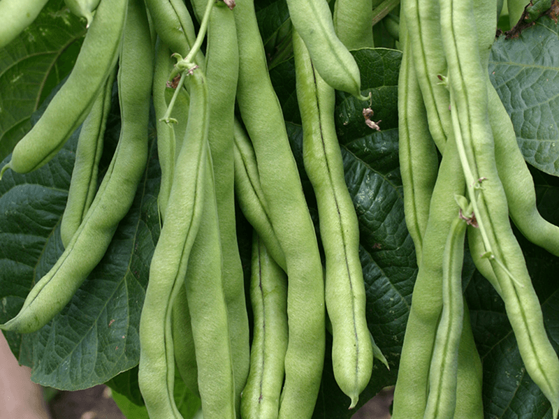 Stokslaboon Neckarkoningin  Phaseolus vulgaris