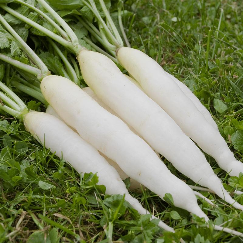 Radijs Eiszapfen  Raphanus sativus