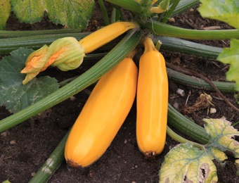 courgette yellow