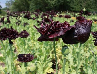 Papapver Black Paeony