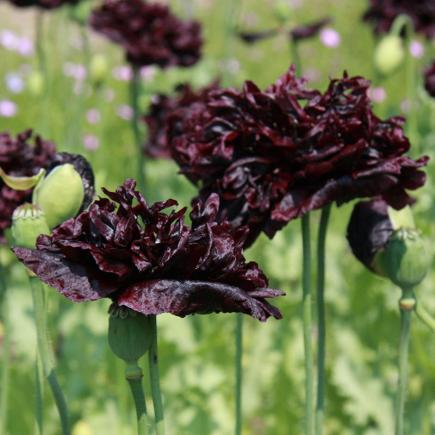 Papaver Black Paeony – Papaver somniferum