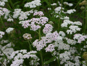 Wit bloeiende planten  plantnunl